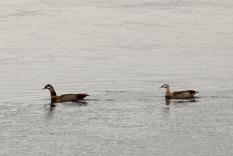 Egyptian Goose in Germany