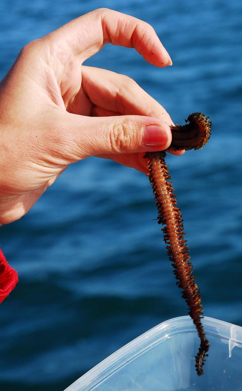 черви для рыбалки на черном море