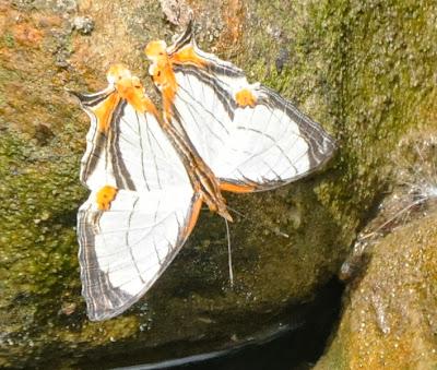 Straight-line Mapwing (Cyrestis nivea)