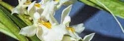 Orchid Species Photo Encyclopedia