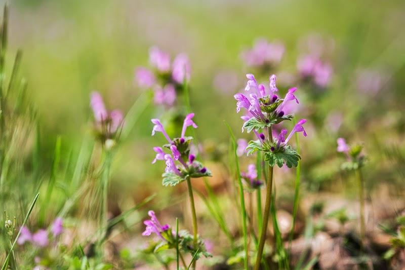 Ozark Wildflowers_Henbit