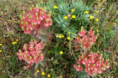 Euphorbia rigida M. Bieb (Euforbia rigida)