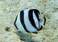 Onderwatervisje
