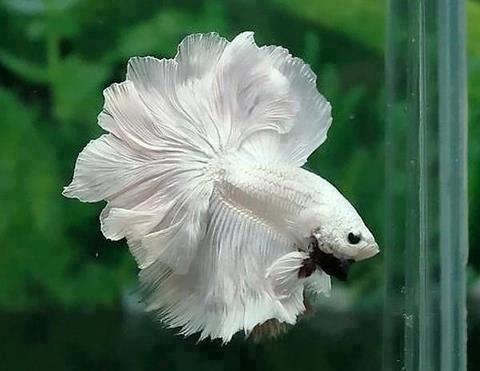 Beautiful white betta fish for Pretty betta fish