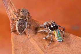"""""""عناكب الطاووس"""" أجمل عناكب العالم 8.jpg"""