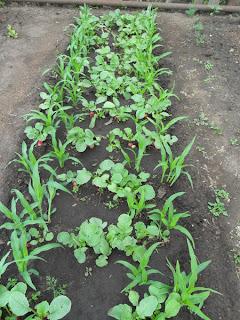 Редиска растет вместе с кукурузой