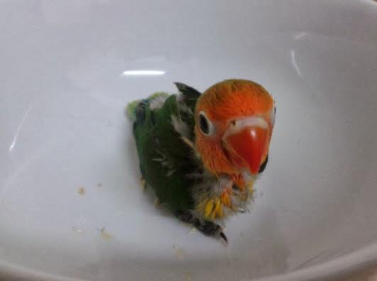 Lovebird Fischer Green