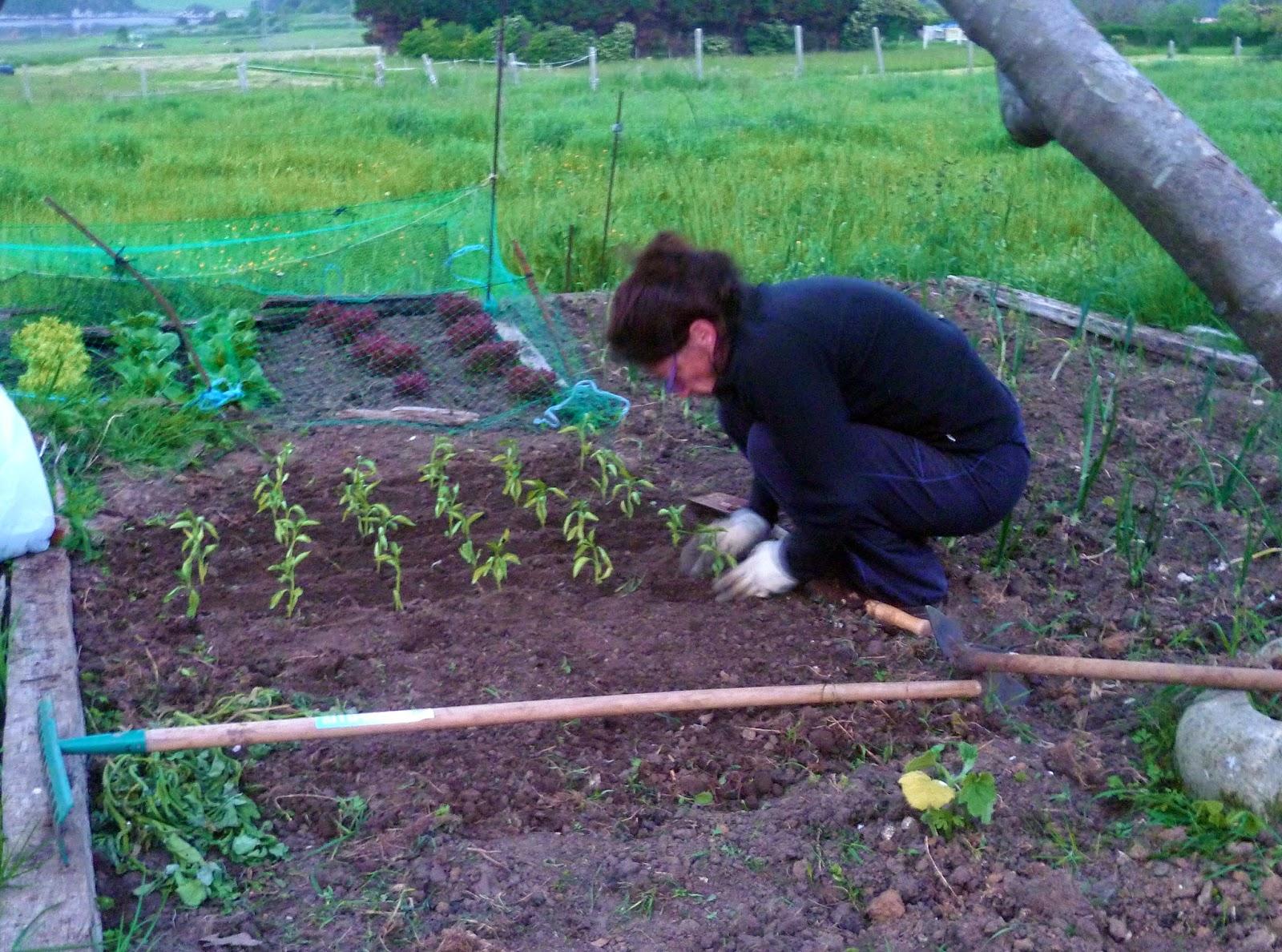 La nube en la boca plantar pimientos for Plantar pimientos y tomates