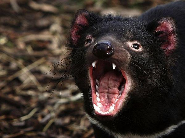 Tasmanian devil - Tasmanian devil pics ...
