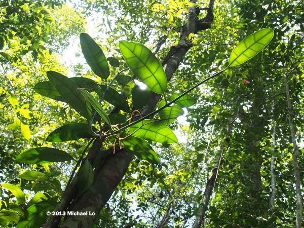 Southeast asian jungle plants