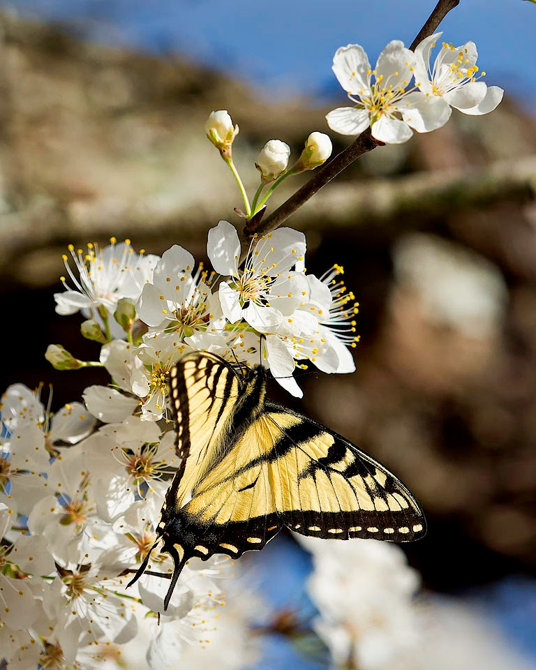 Yellow Swallowtail on Wild Plum