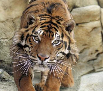 Angry tiger face - photo#14