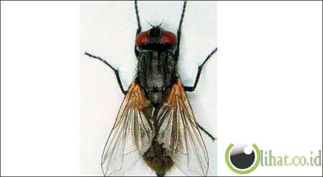 Lalat Australia
