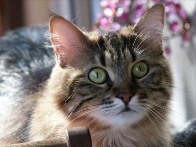Yeşil Kedi gözü