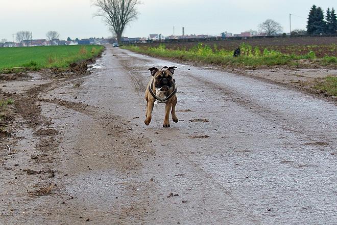 French Bulldog Genki