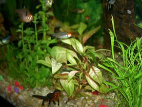 Tritón en su acuario