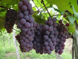 Vinho - o puro suco de uva