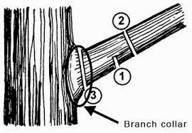 how to prune large tree limb