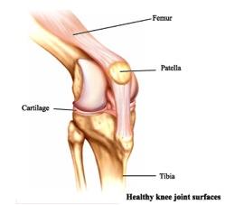 Medi Photos: Sesamoid bones, Functions and mechanism of action.