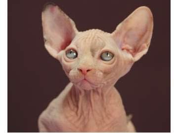 gato-sphynex-esfinge-animales-raros