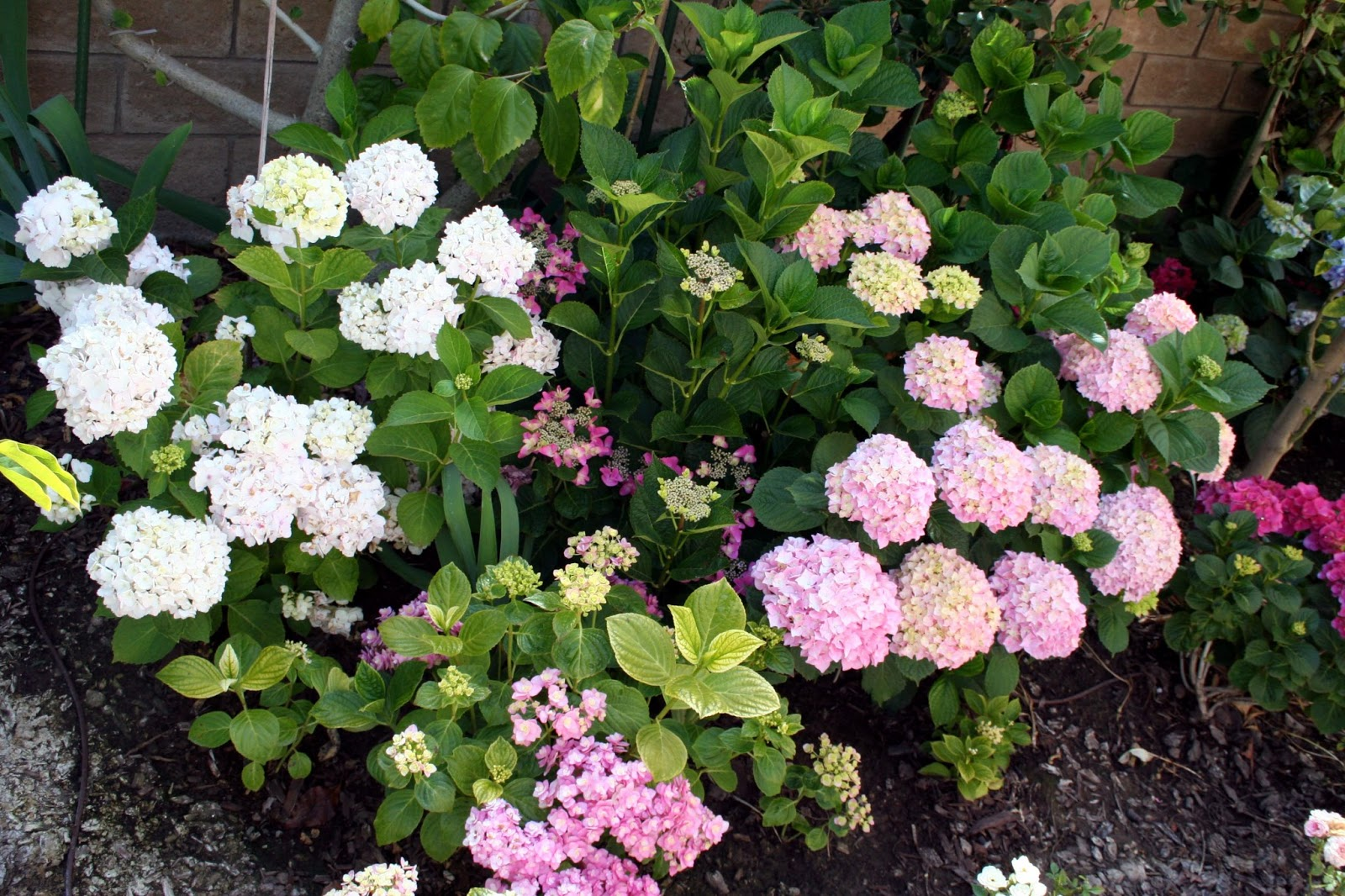 how to change the ph of soil for hydrangeas