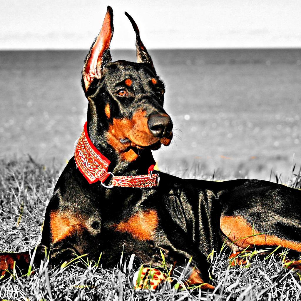 Le meilleur chien de garde - chien de garde