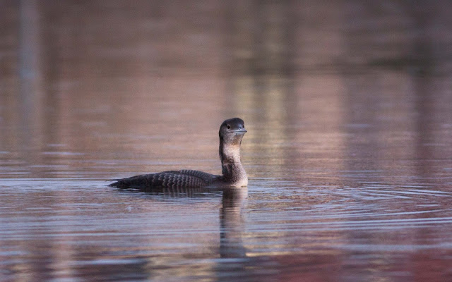 Great Northern Diver - West Kirby Marine Lake, Wirral