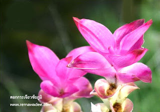 ดอกระเจียว ราชินีดอกไม้แห่งหน้าฝน