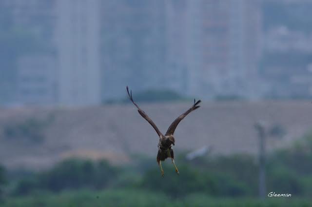 關渡自然公園澤鵟