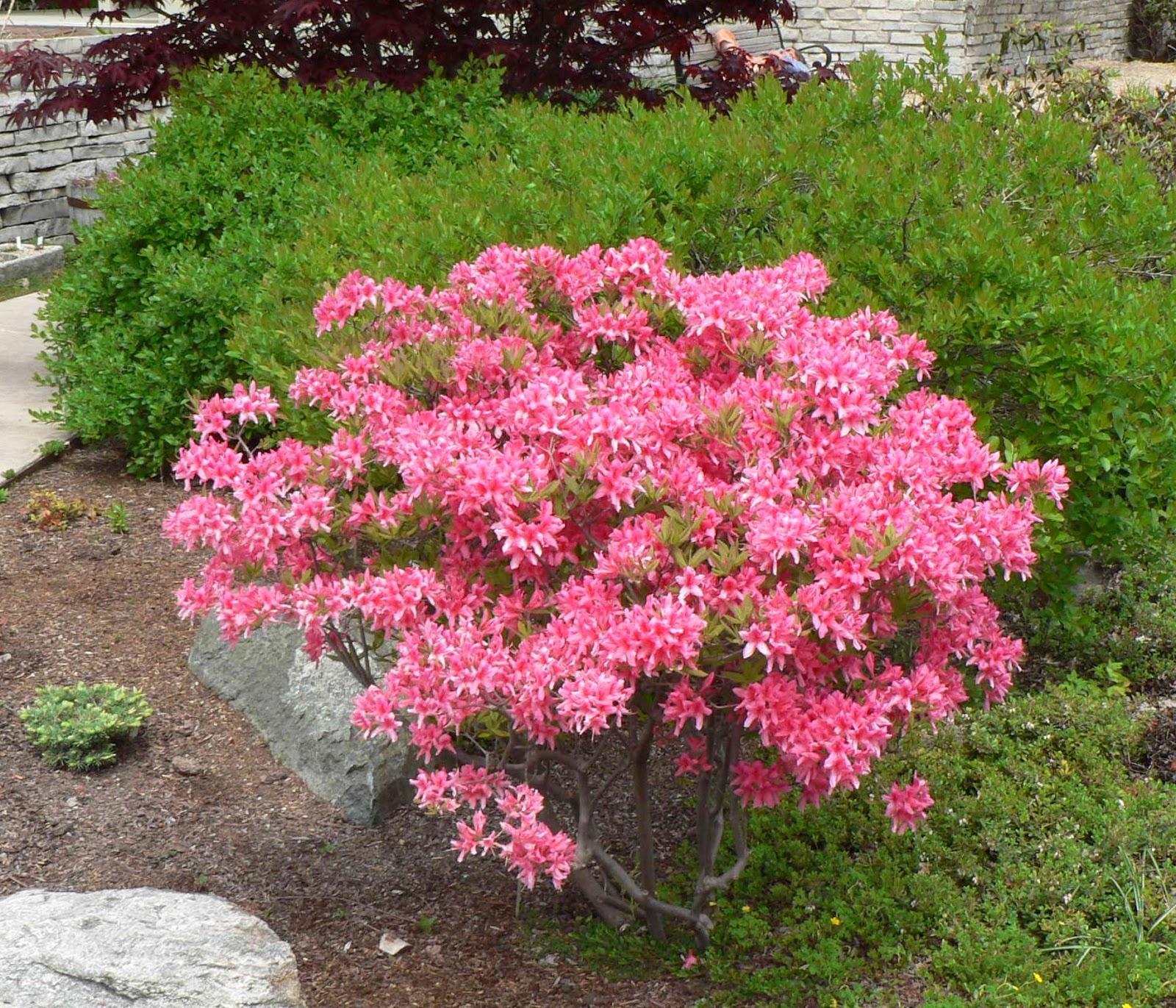 Visit my garden hardy azaleas at the arboretum for The azalea
