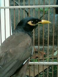 Burung jalak nias dan cara perawatannya