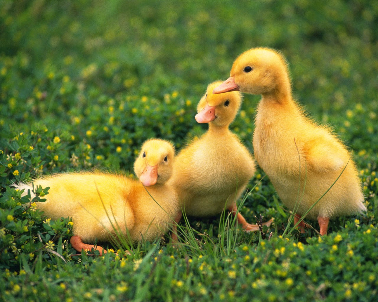 Cute little ducks for easter