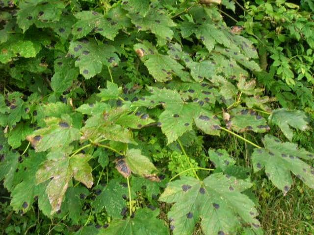 Les potins des plantes for Plante 5 feuilles