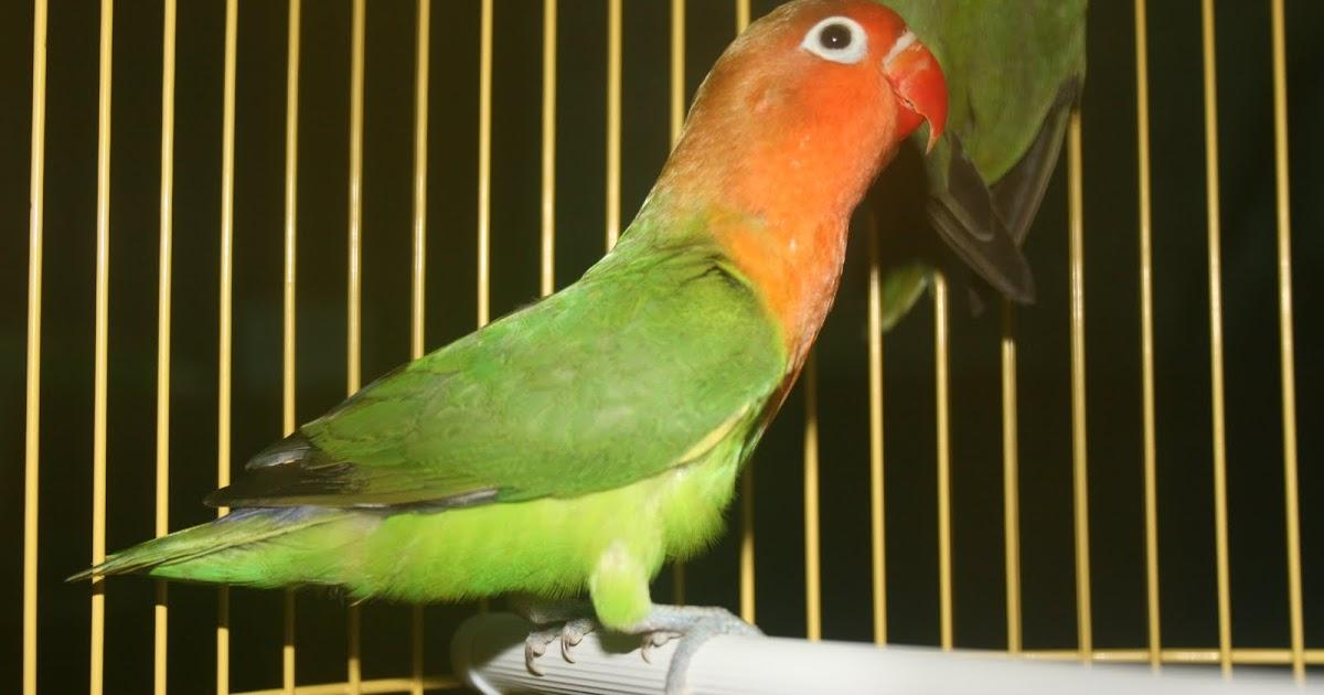 mengenal ciri ciri burung lovebird holland