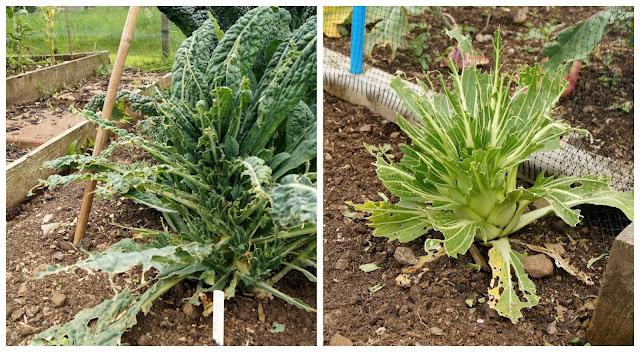 sad Kale and Pak Choi - 'growourown.blogspot.com' ~ an allotment blog