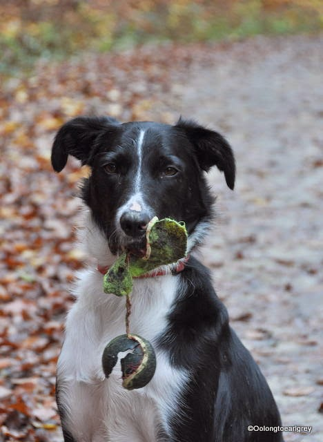 Ralph the border Collie x and half a tennis ball