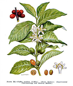 Arabica