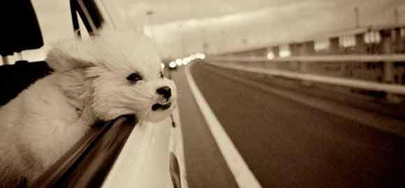 Cães não devem passear de carro com a cabeça para fora da janela