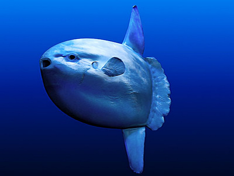 Do your homework better and faster for Mola mola fish