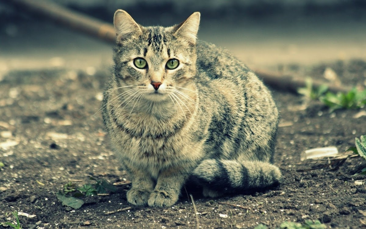 Green Eyes Cat 2 Widescreen HD Wallpaper
