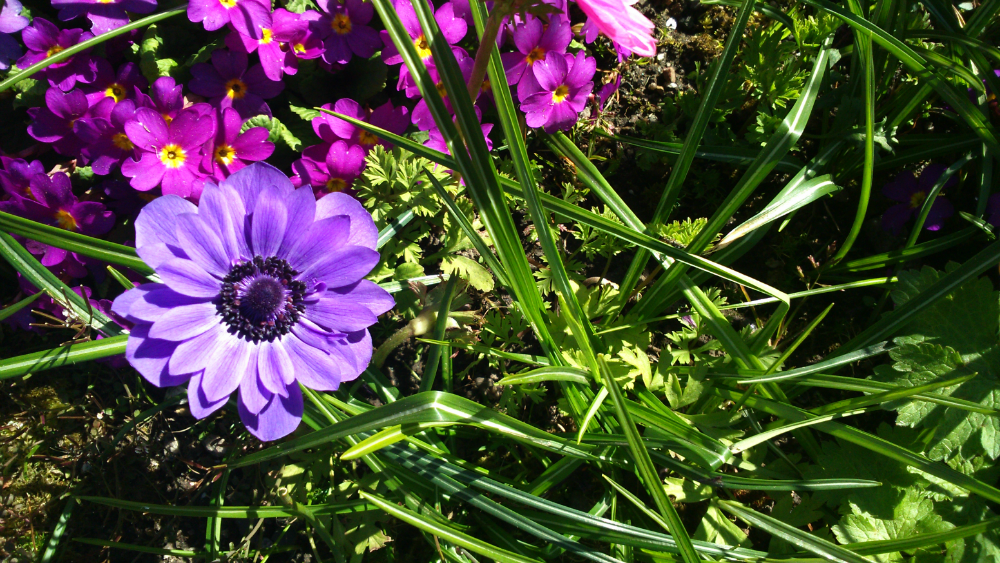 Purple anemone; purple primulas