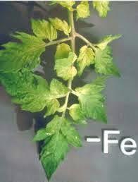 kekurangan-unsur-hara-mikro-besi-fe-tanaman-produk-pupuk-nasa-organik
