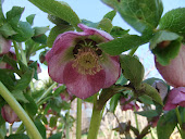Hellebore Pink fillagree 2