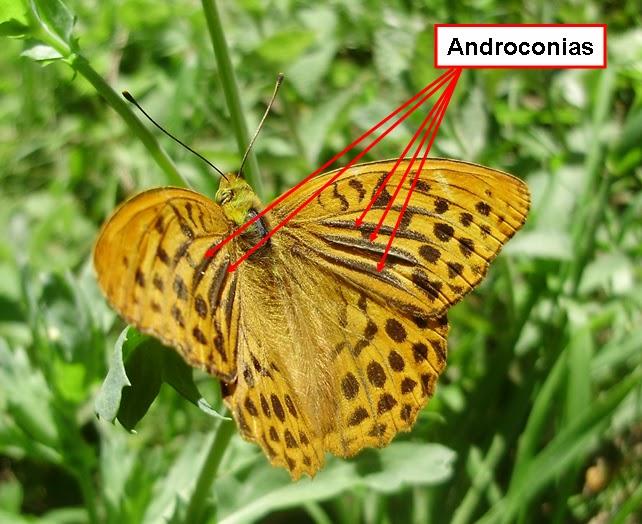 Androconias de un macho de volvoreta Argynnis paphia