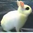 Jenis-jenis Kelinci, Dwarf Hotot