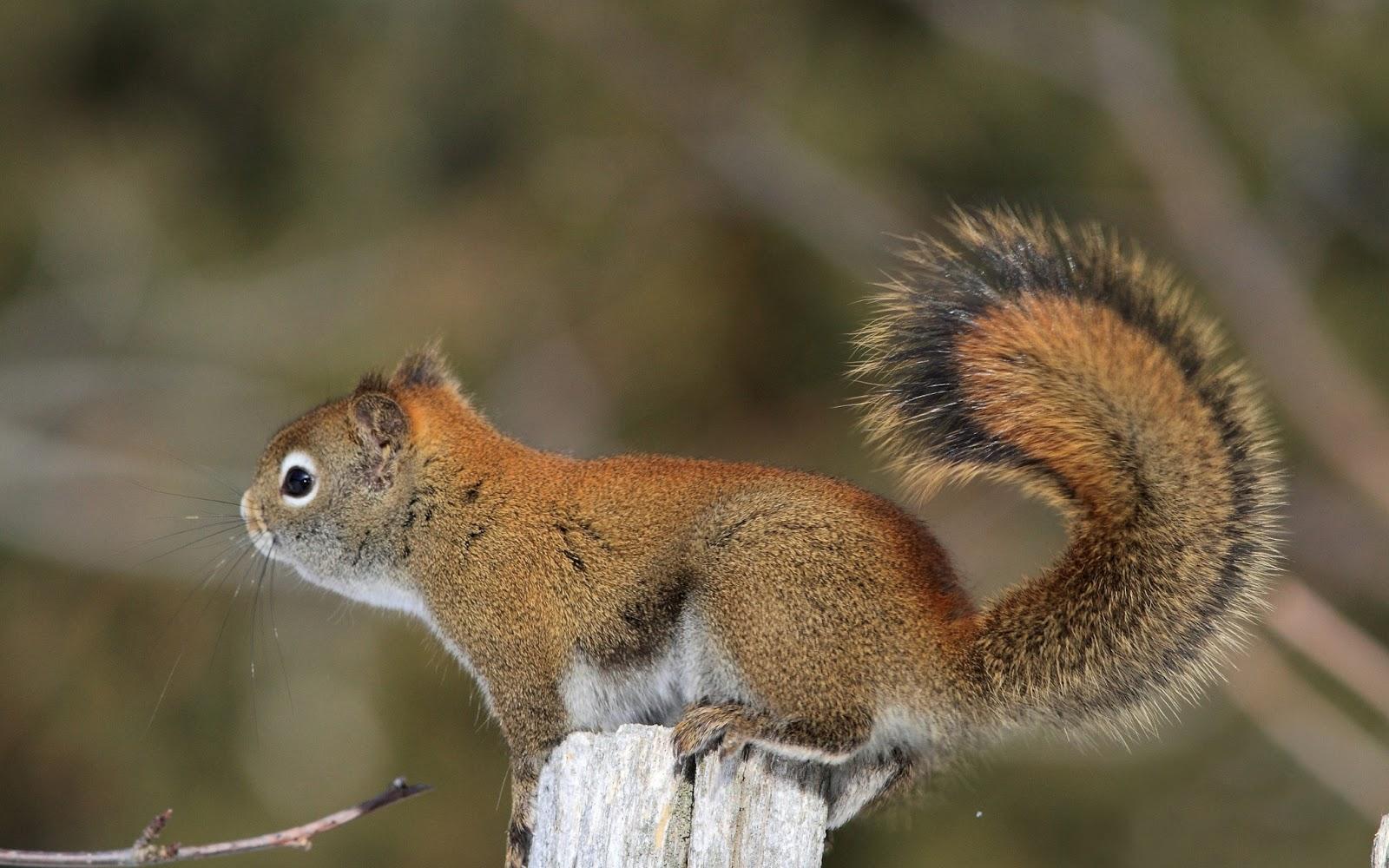 squirrel wallpaper - photo #11