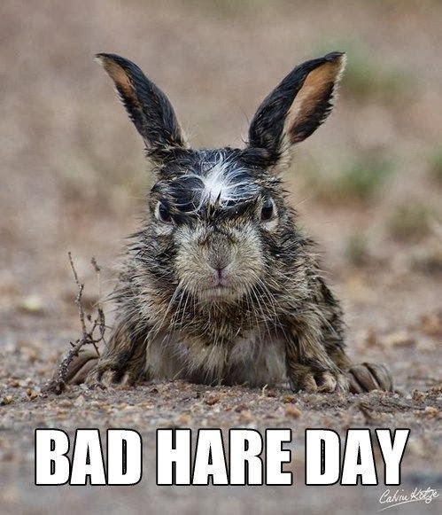 Angry wet rabbit scowling