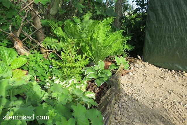 уголок в тени, теневыносливые растения, манжетка, примула, хосты, папоротник, астильба, купена, волжанка