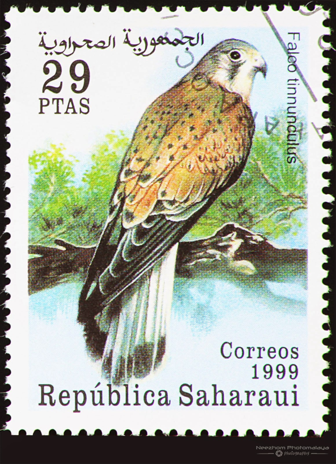 Western Sahara 1999 Birds of Prey stamp - Common Kestrel (Falco tinnunculus) 29 ptas