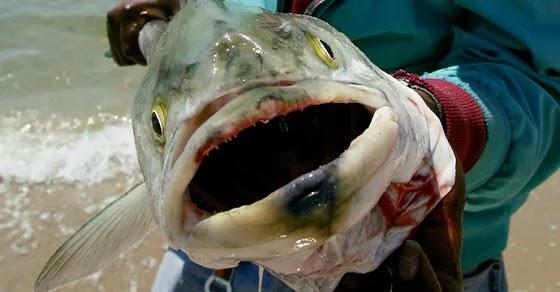 Organic news tuna caught near california are contaminated for Pacific ocean radiation fish